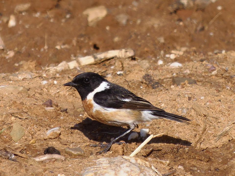 Stonechat, Birds, Bird, Animals, Nature