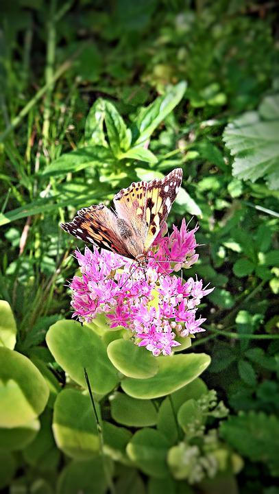 Butterfly, Insect, Stonecrop, Ornamental Plant, Garden
