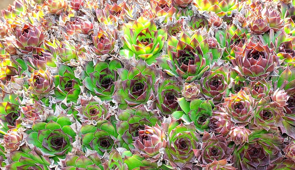 Nature, Green, Stonecrop