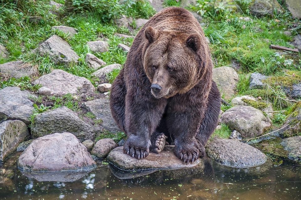 Brown Bear, Stones, Fur, Paws Eyes, Water