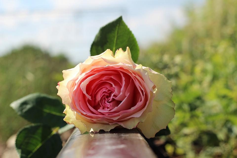 Stop Teenager Suicide, White Pink Rose On Railway