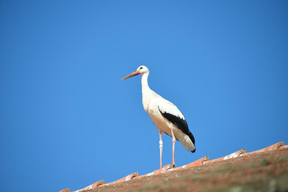 Stork, Bird, Animal, Rattle Stork, White Stork, Roof