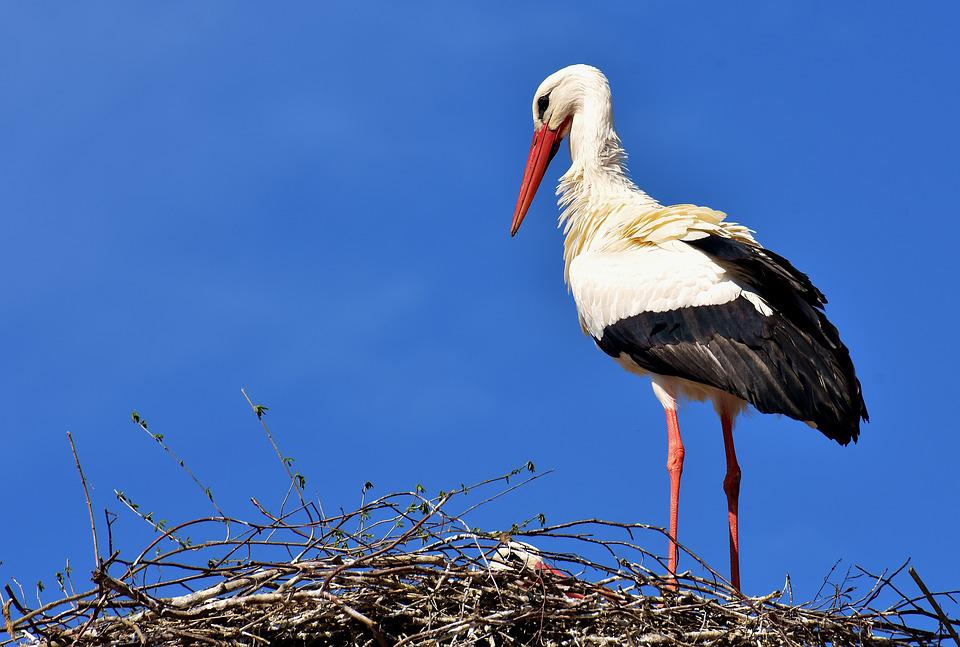 Stork, Bird, Flying, Plumage, Nature, Animal World