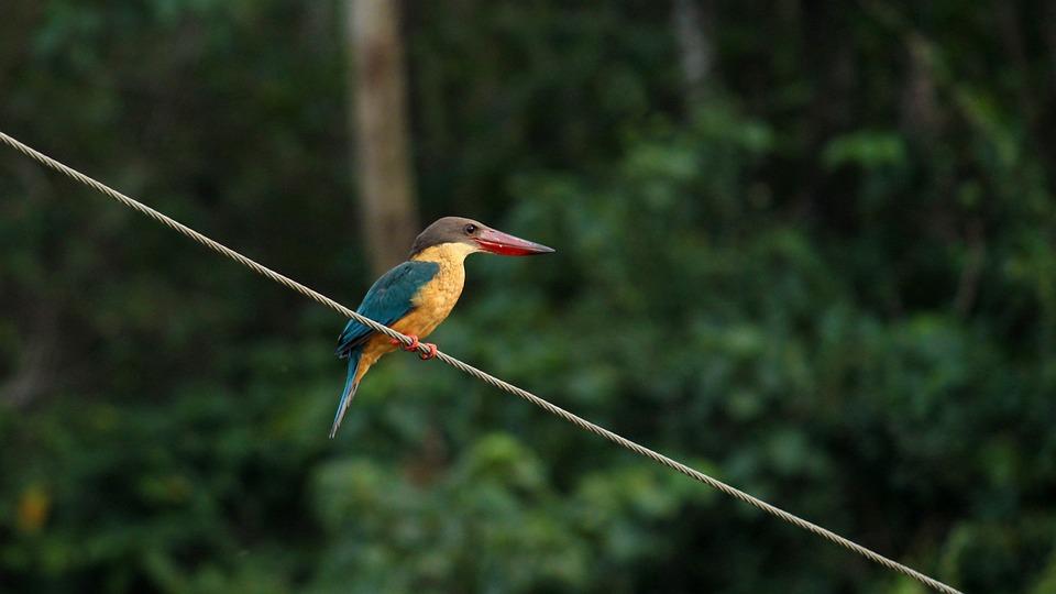 Stork Billed Kingfisher, Kingfisher, Bird, Perching
