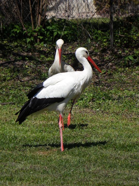 Stork, Storks, Rattle Stork, Birds, Meadow, Animals