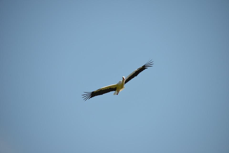 Stork Flight, Stork, Bird, Animal, Rattle Stork