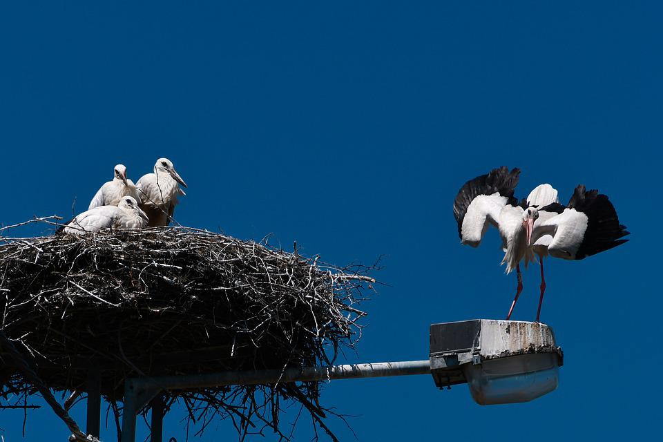 Stork, Bird, Launchy, Parent, Family, Nest, Hungary