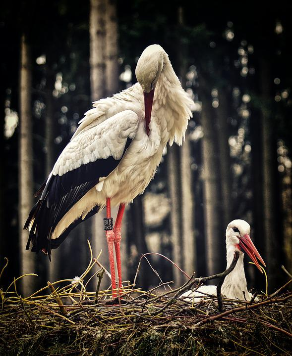 Stork, Nest Building, Pair, Birds, Nest, Build