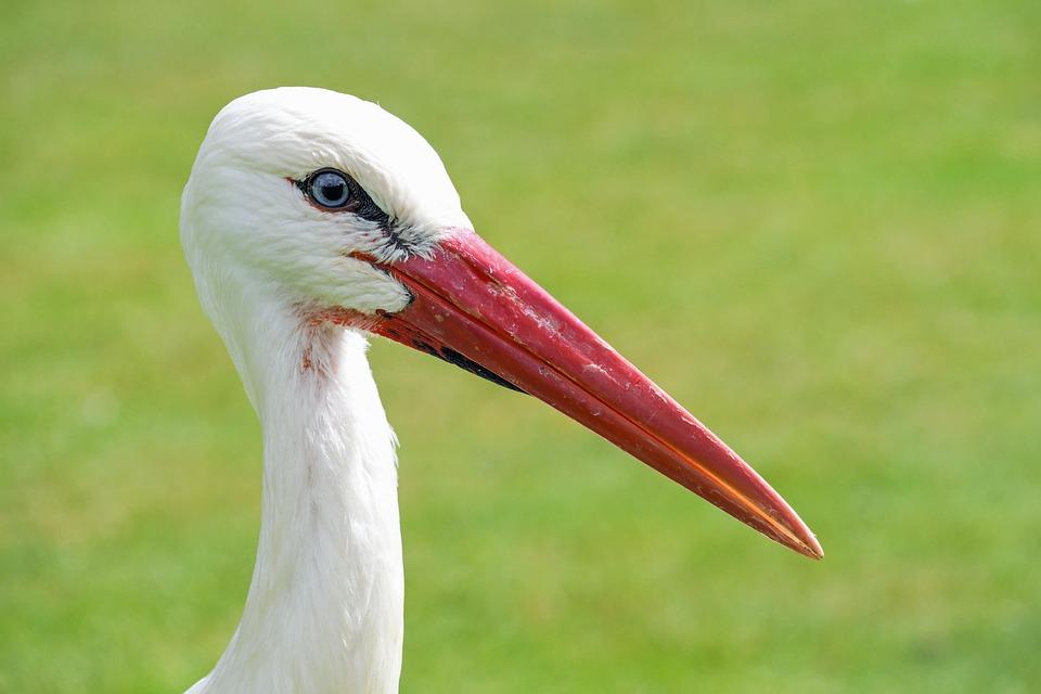 Stork, Close Up, Bird, Wader
