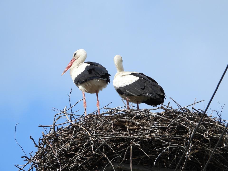 Storks, Crow's Nest, Stork, Bird, Figure, Plumage