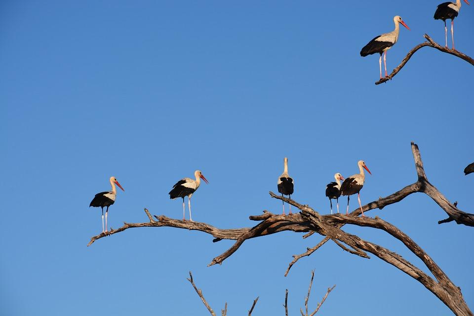 White Stork, Storks, Tree, Sky, Blue