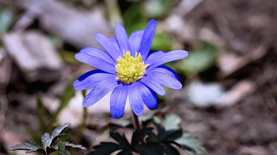 Balkan Anemone, Strahlenanemone, Flower, Plant, Blossom