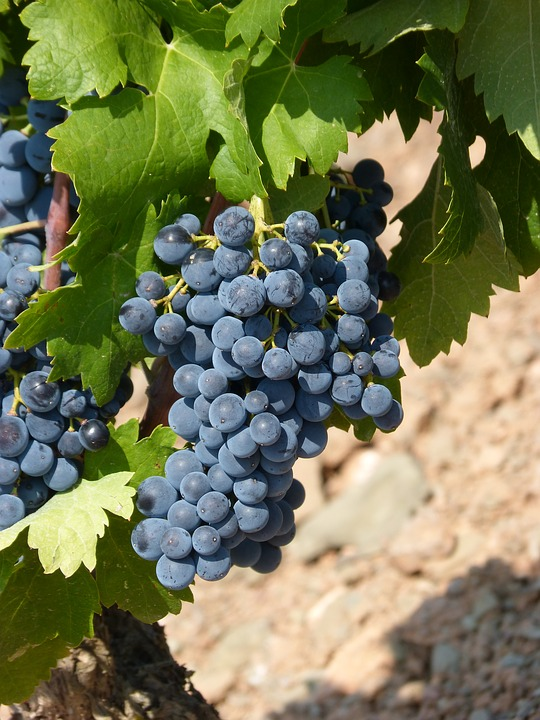Vineyard, Strain, Grape, Black Grape, Priorat