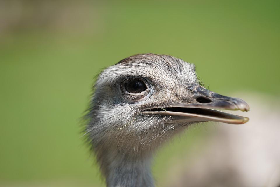 Emu, Strauss, Africa, Safari, National Park