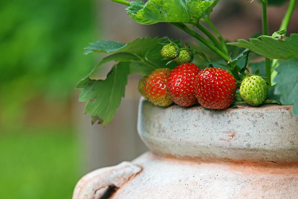 Strawberries, Garden, Fruit, Summer, Food, Delicious