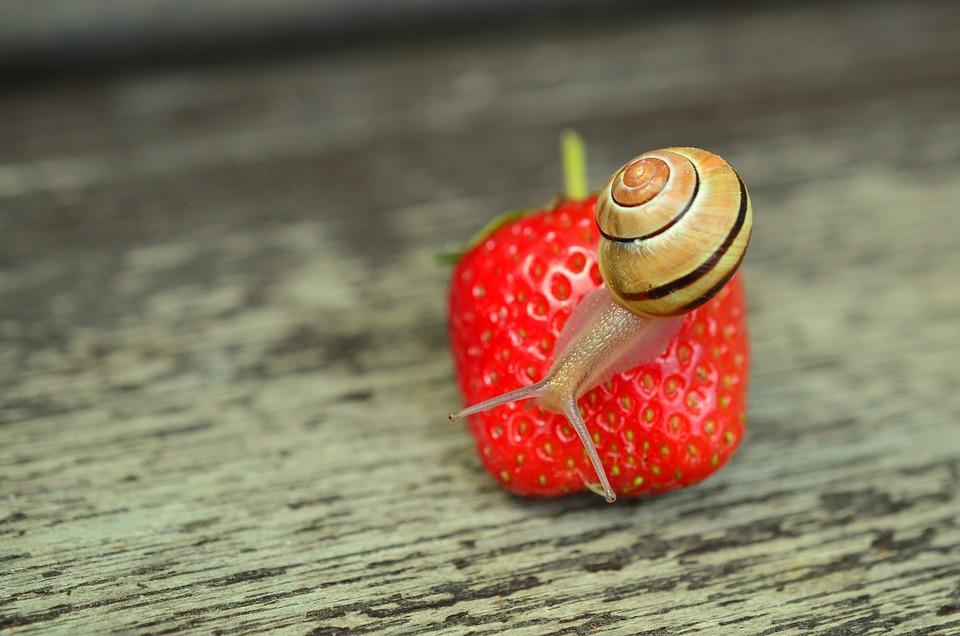 Strawberry, Snail, Tape Worm, Garden, Shell
