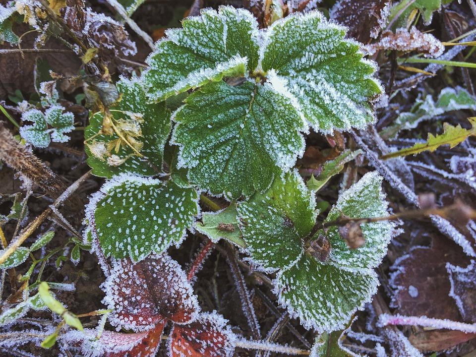 Leaves, Strawberry, Of Freezing, Leann, Green Leaf