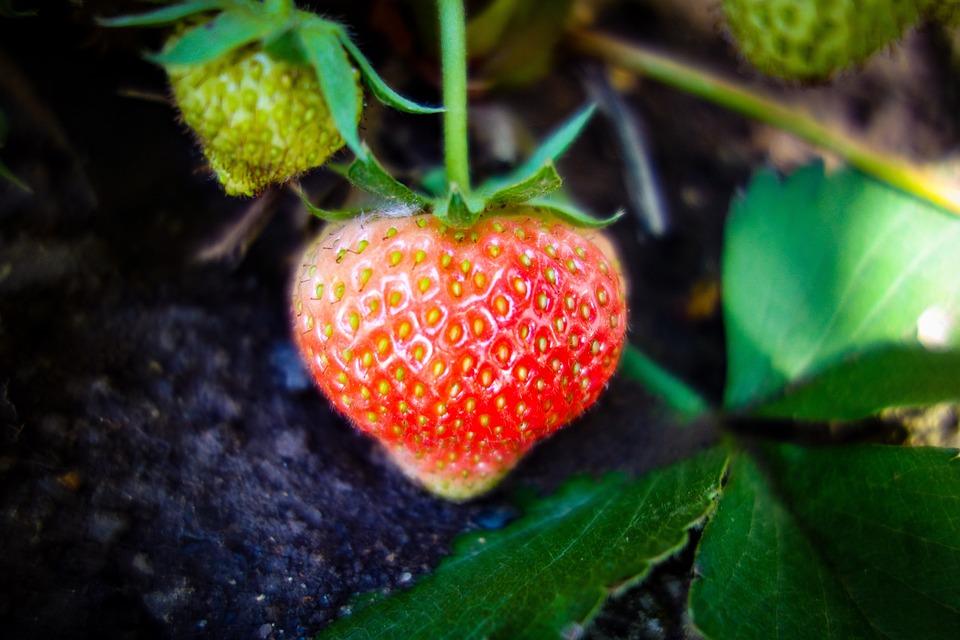 Strawberry, Unripe Strawberry, Growth, Green