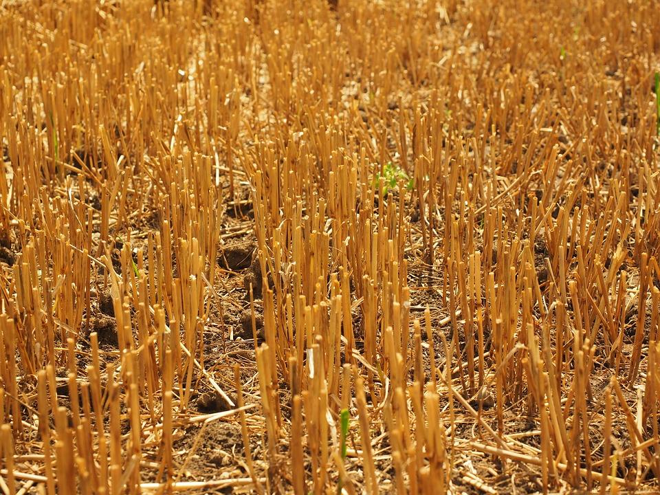 Field, Straws, Wheat Field, Cornfield, Harvested