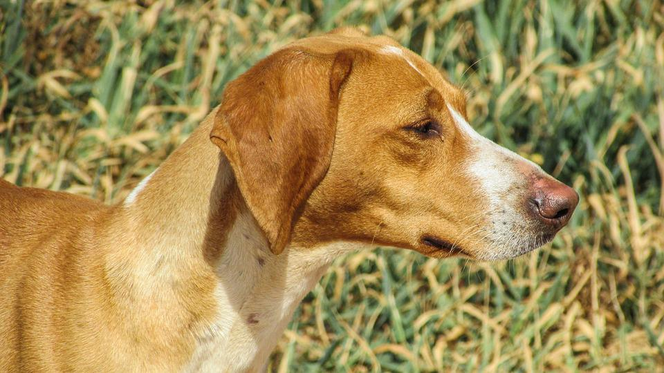 Dog, Vizla, Brown, Stray, Portrait, Looking, Fields