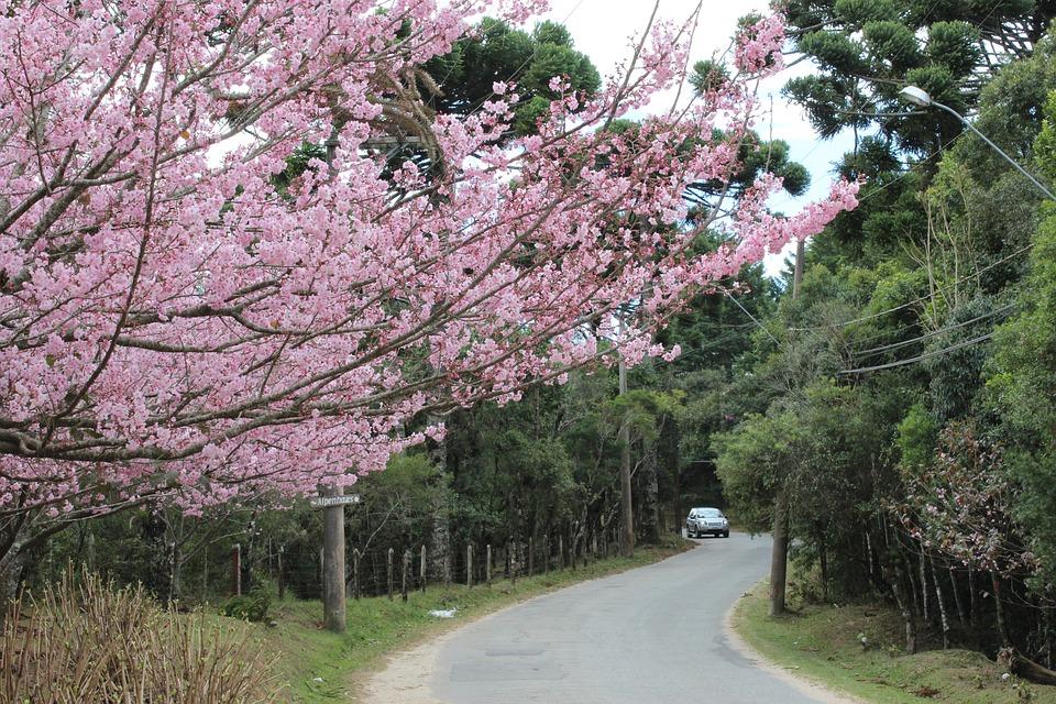 Cherry, Tree, Street