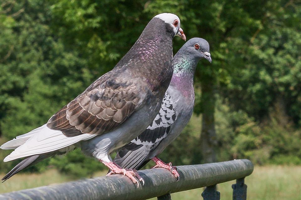 City Pigeon, Nature, Street Deaf