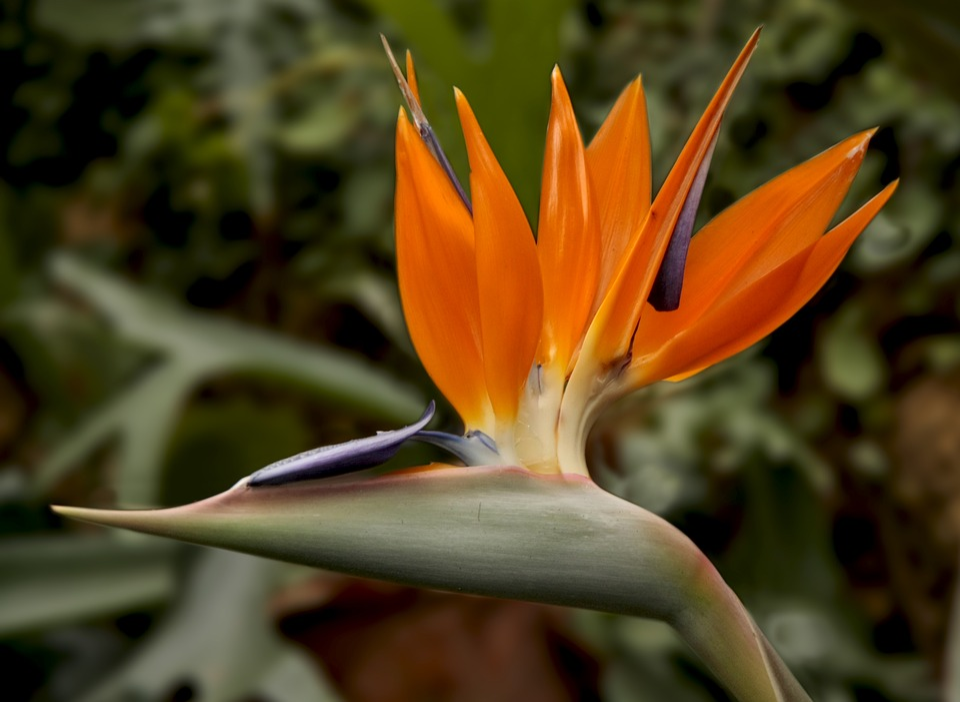 Bird Of Paradise Flower, Strelitzia, Bird Of Paradise