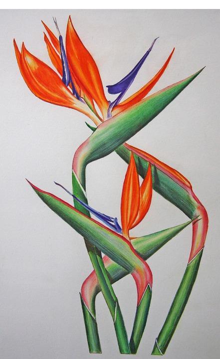 Strelitzia, Beautiful, Flowers