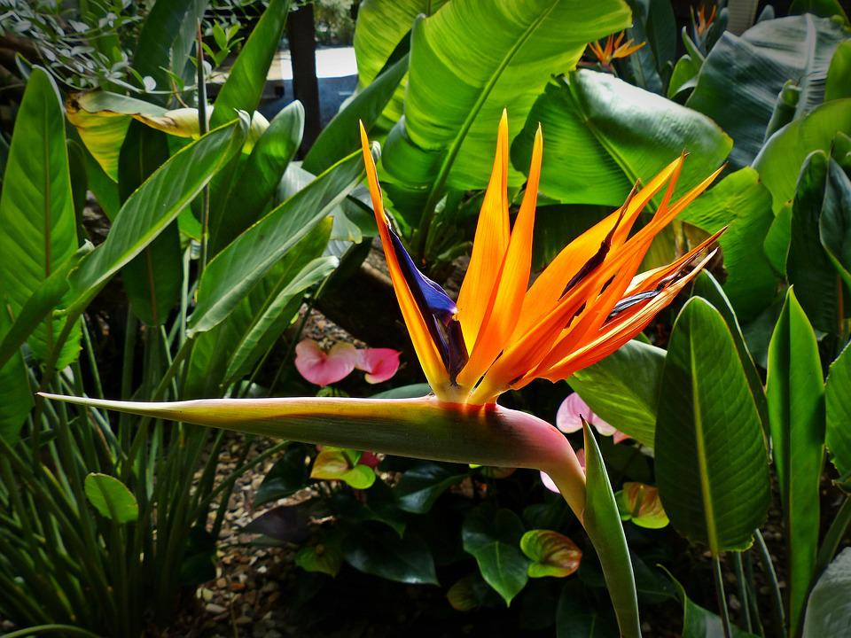Bird Of Paradise Flower, Strelitzia Orchids