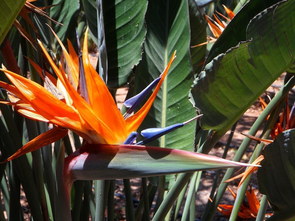 Strelizie, Flower, Blossom, Bloom, Close Up, Orange