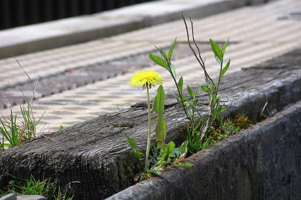 Resistant, Dandelion, Plant, Grow, Strength, Resistance
