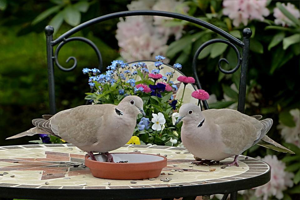 Dove, Collared, Streptopelia Decaocto, Couple, Bird