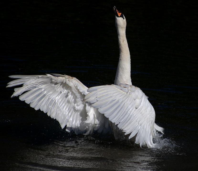 Swan, Mute Swan, Stretch, Wings