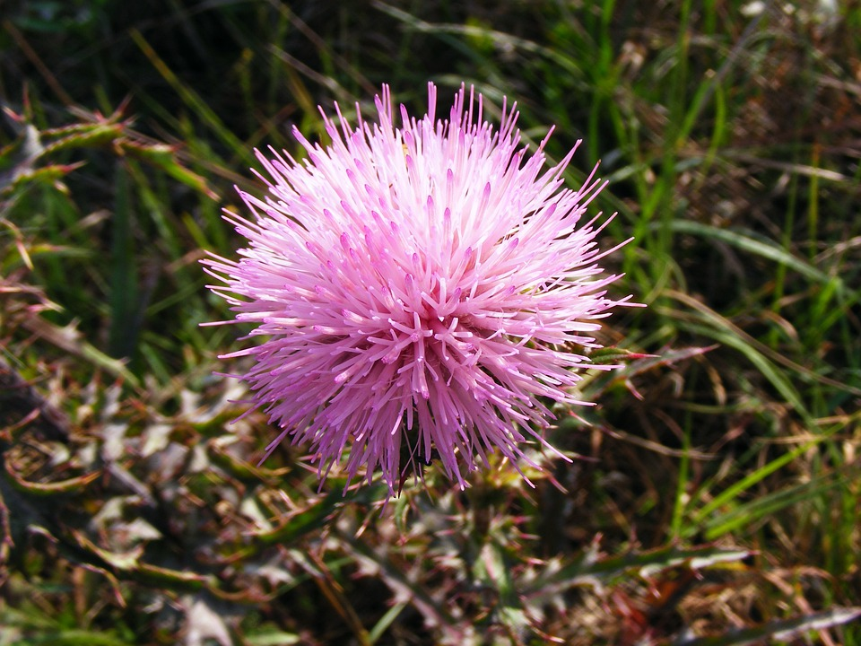 Mimosa, Strigillosa, Powderpuff, Flower, Purple