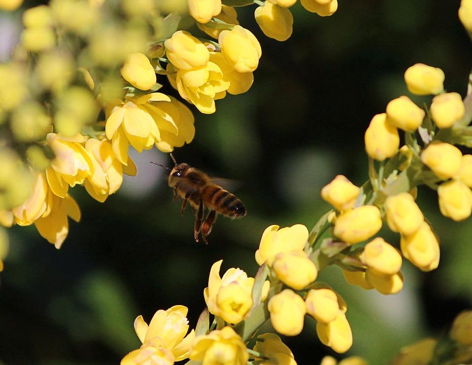 Honey Bee, Flying, Yellow Flowers, String, Nectar