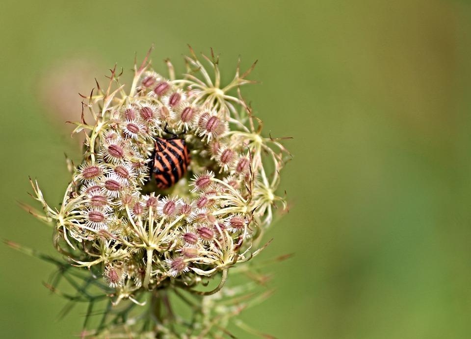 Bug, Strip Bug, Graphosoma Lineatum, Striped, Red Black