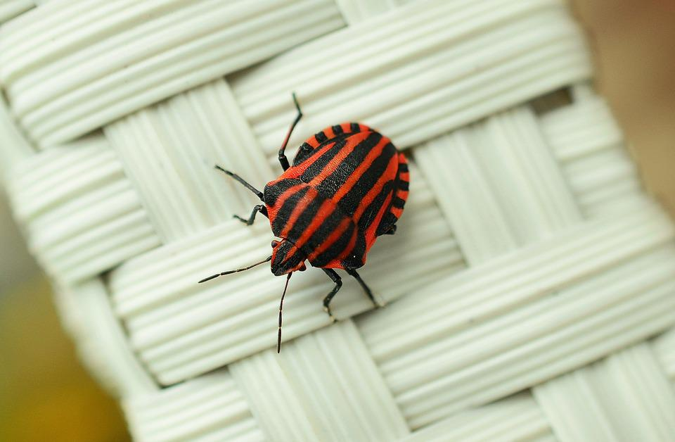 Strip Bug, Bug, Macro, Insect, Red, Insect Photo