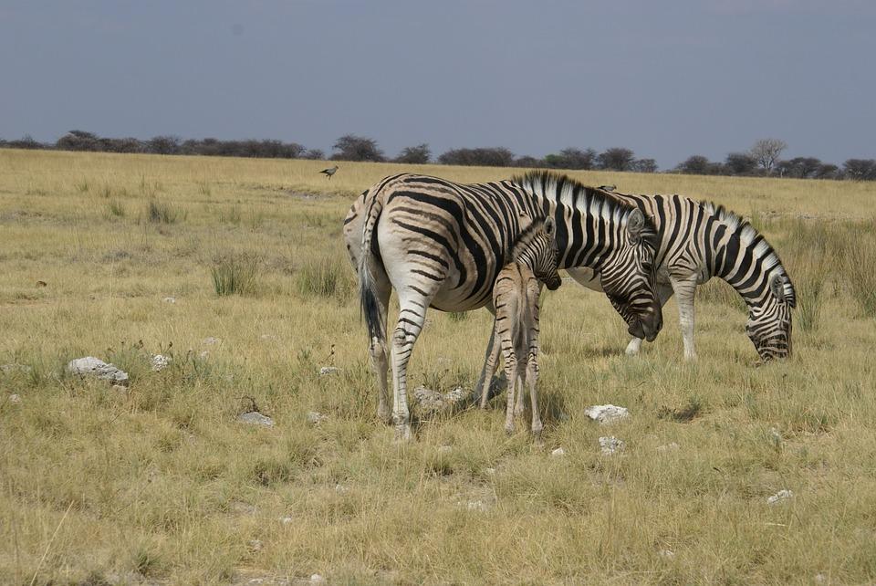 Zebras, Steppe, Africa, Striped, Mammals