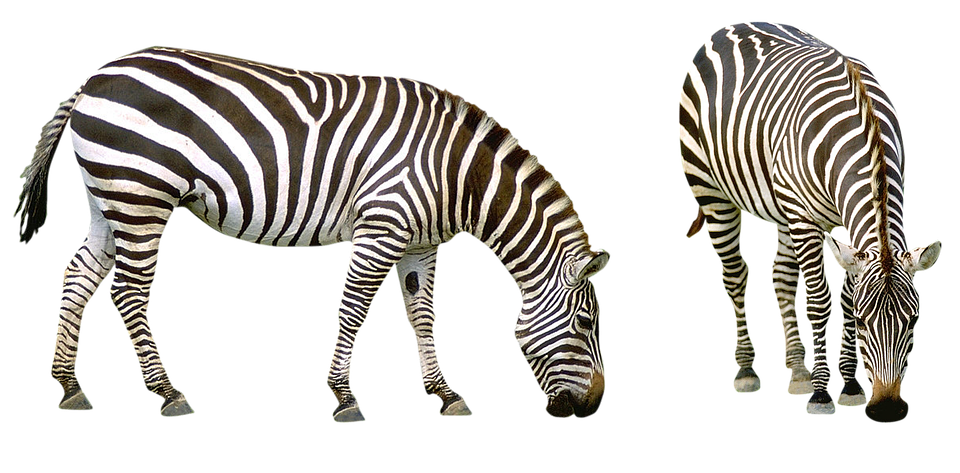 Zebra, Africa, Striped, Animals, Safari, Nature, Zoo
