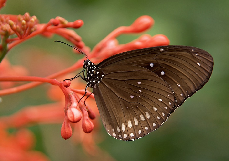 Butterfly, Insect, Animal, Striped Core Butterfly