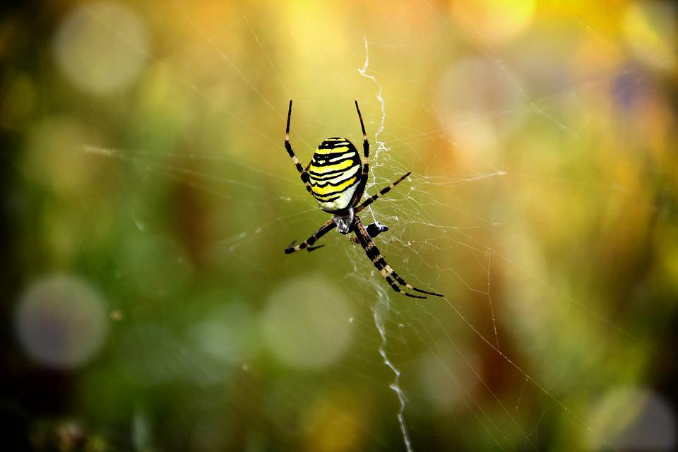 Spider, Zebraspinne, Insect, Striped, Nature, Network