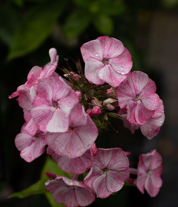 Phlox, Flame Flower, Rose, Striped, Flowers, Summer