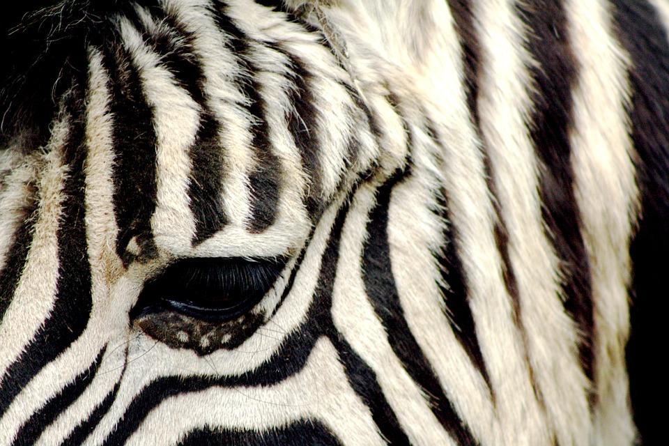 Zebra, Zoo, Antwerpen, Striped
