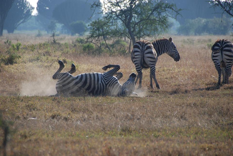 Zebras, Africa, Safari, Stripes, Kenya, Nakuru