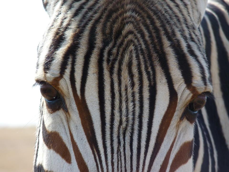 Hartmann's, Mountain Zebra, Zebra, Africa, Stripes