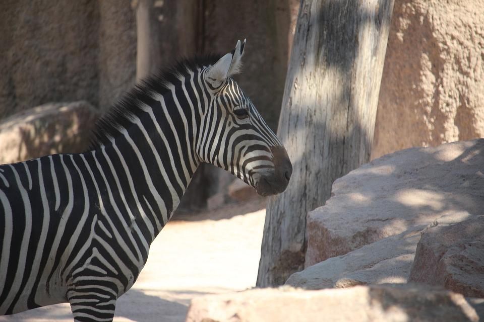 Zebra, Zoo, Stripes, Africa, Animal, Mammal, Nature