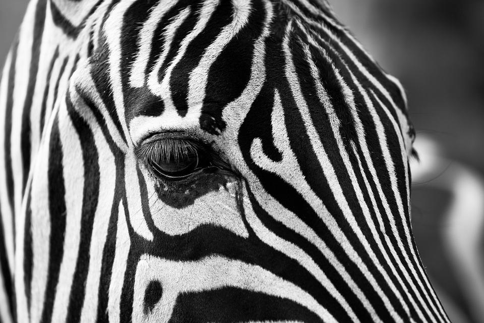 Zebra, Stripes, Black And White, Zoo, Animals