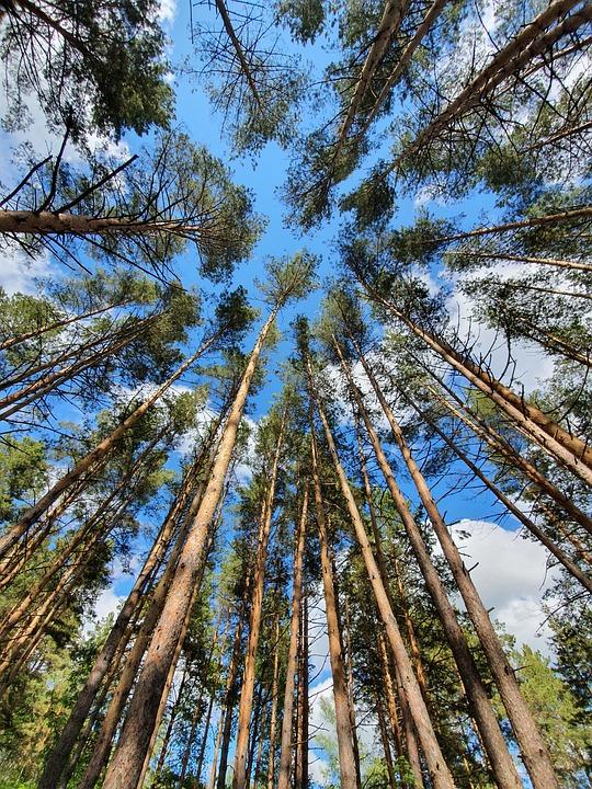 Forest, Pine, Stroll, Sky, Sun, Weekend, Sunday, Summer