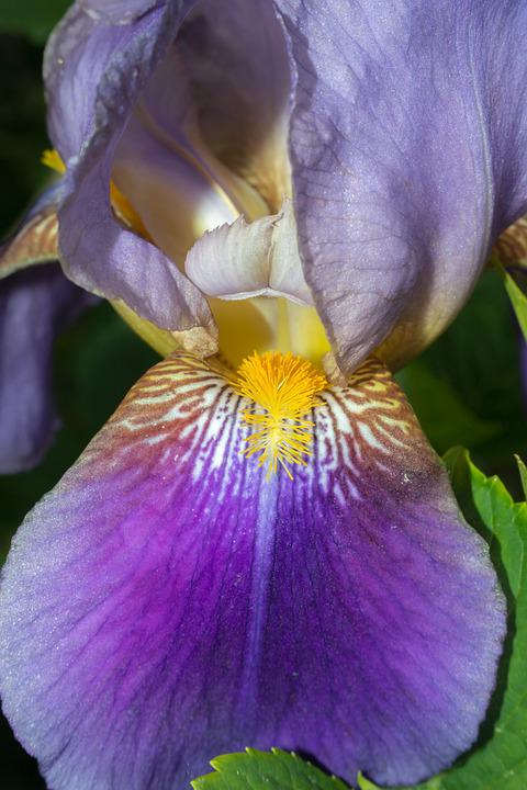 Iris, Stamp, Pistil, Purple, Violet, Yellow, Structure
