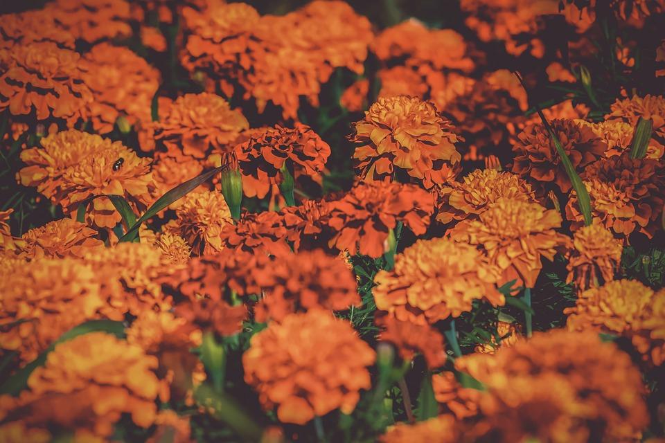 Marigold, Student Flowers, Bloom, Nature, Garden